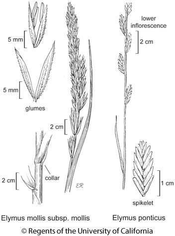 botanical illustration including Elymus mollis subsp. mollis