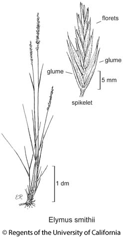 botanical illustration including Elymus smithii