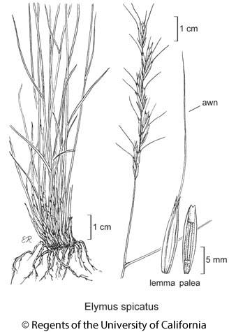 botanical illustration including Elymus spicatus
