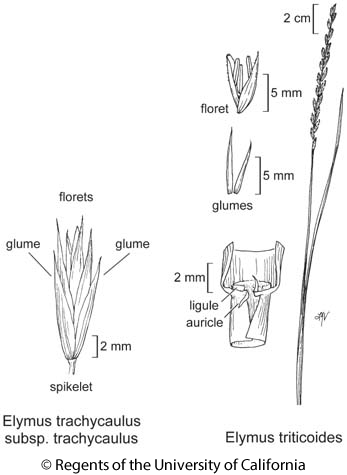 botanical illustration including Elymus triticoides
