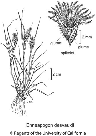 botanical illustration including Enneapogon desvauxii
