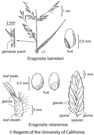 botanical illustration including Eragrostis barrelieri