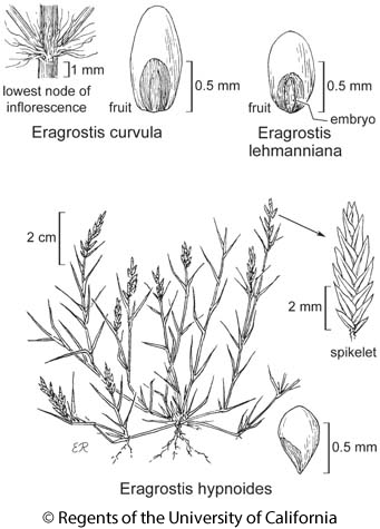 botanical illustration including Eragrostis lehmanniana