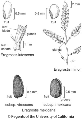 botanical illustration including Eragrostis lutescens