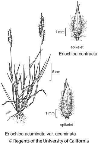 botanical illustration including Eriochloa contracta