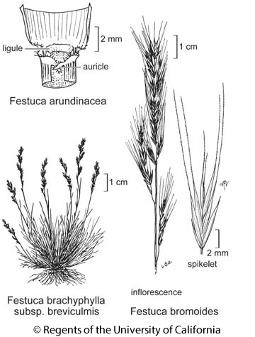 botanical illustration including Festuca bromoides