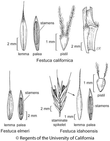 botanical illustration including Festuca californica