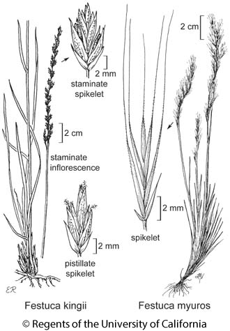 botanical illustration including Festuca kingii