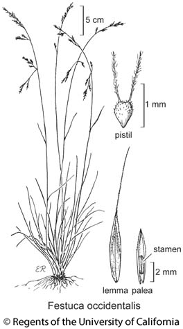 botanical illustration including Festuca occidentalis