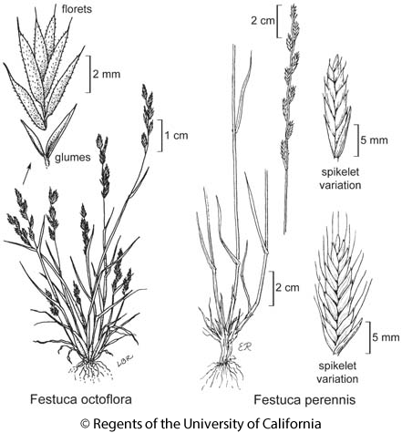 botanical illustration including Festuca octoflora