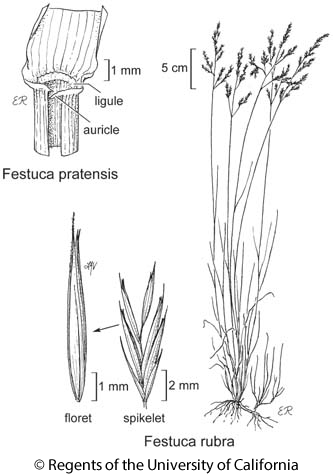 botanical illustration including Festuca pratensis