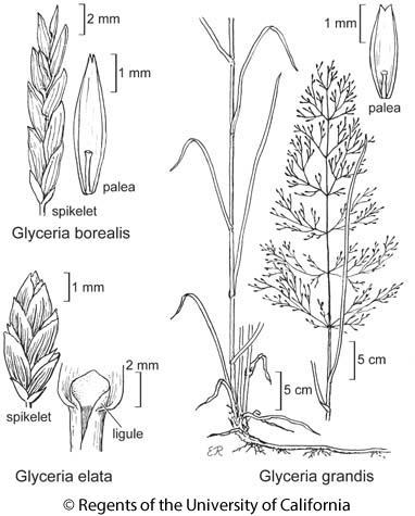 botanical illustration including Glyceria borealis