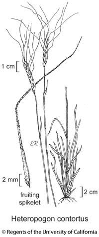 botanical illustration including Heteropogon contortus