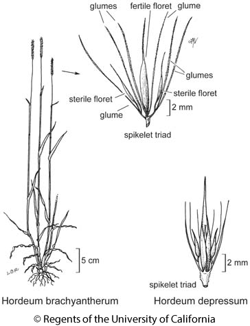 botanical illustration including Hordeum depressum