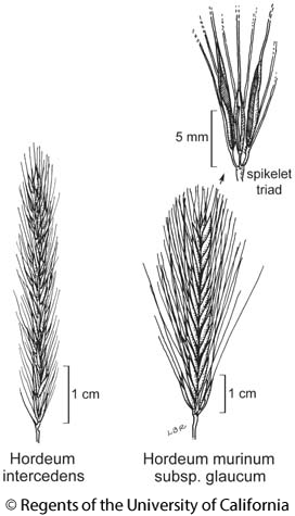 botanical illustration including Hordeum intercedens