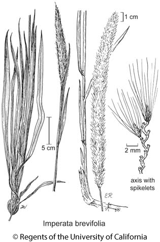 botanical illustration including Imperata brevifolia