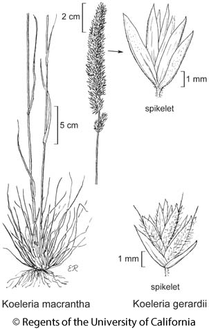 botanical illustration including Koeleria macrantha