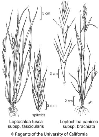 botanical illustration including Leptochloa fusca subsp. fascicularis