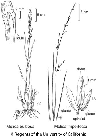 botanical illustration including Melica bulbosa