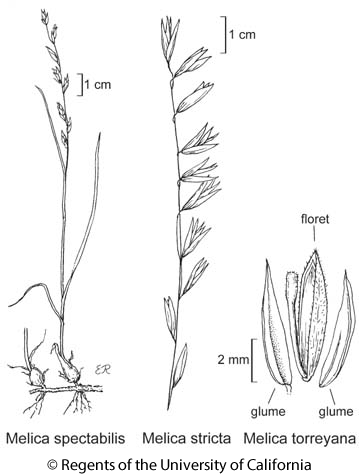 botanical illustration including Melica stricta