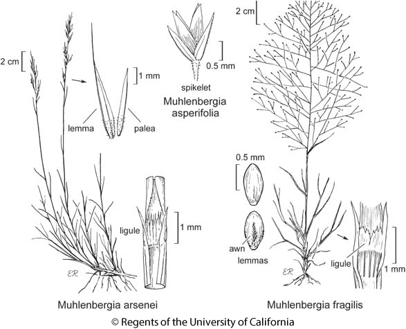 botanical illustration including Muhlenbergia asperifolia