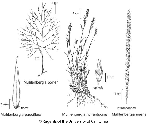 botanical illustration including Muhlenbergia porteri