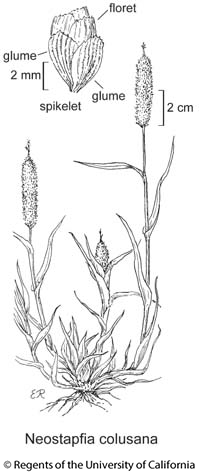 botanical illustration including Neostapfia colusana
