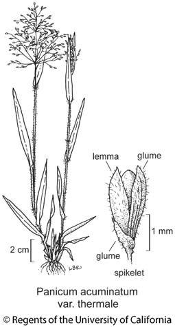 botanical illustration including Panicum acuminatum var. thermale