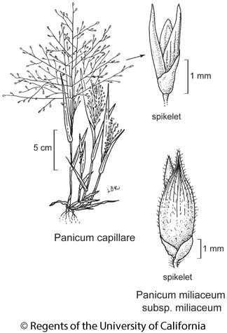 botanical illustration including Panicum capillare