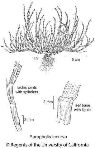 botanical illustration including Parapholis incurva