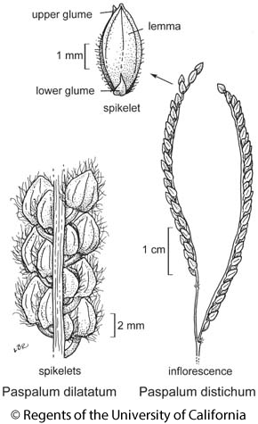botanical illustration including Paspalum dilatatum