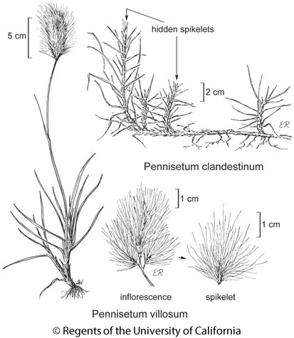 botanical illustration including Pennisetum villosum