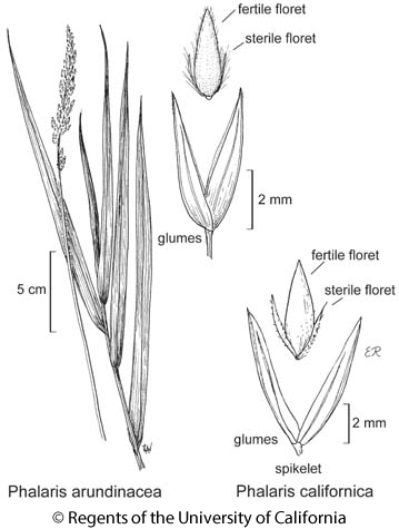 botanical illustration including Phalaris californica