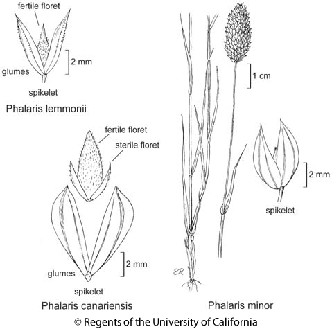botanical illustration including Phalaris canariensis