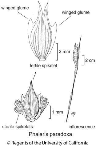 botanical illustration including Phalaris paradoxa