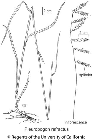 botanical illustration including Pleuropogon refractus