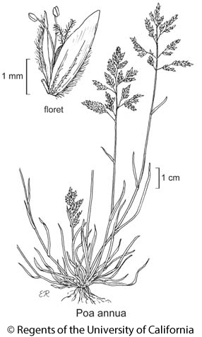 botanical illustration including Poa annua