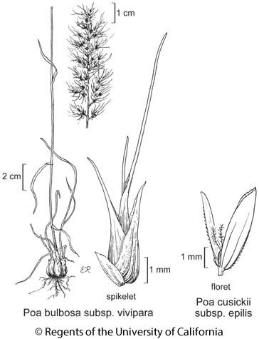 botanical illustration including Poa bulbosa subsp. vivipara
