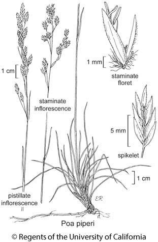 botanical illustration including Poa piperi