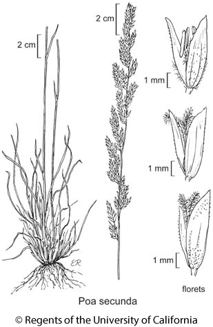 botanical illustration including Poa secunda