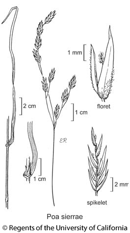 botanical illustration including Poa sierrae