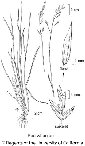 botanical illustration including Poa wheeleri