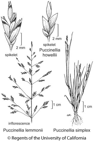 botanical illustration including Puccinellia lemmonii