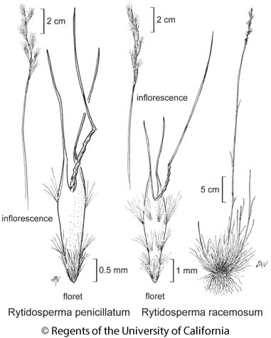 botanical illustration including Rytidosperma racemosum