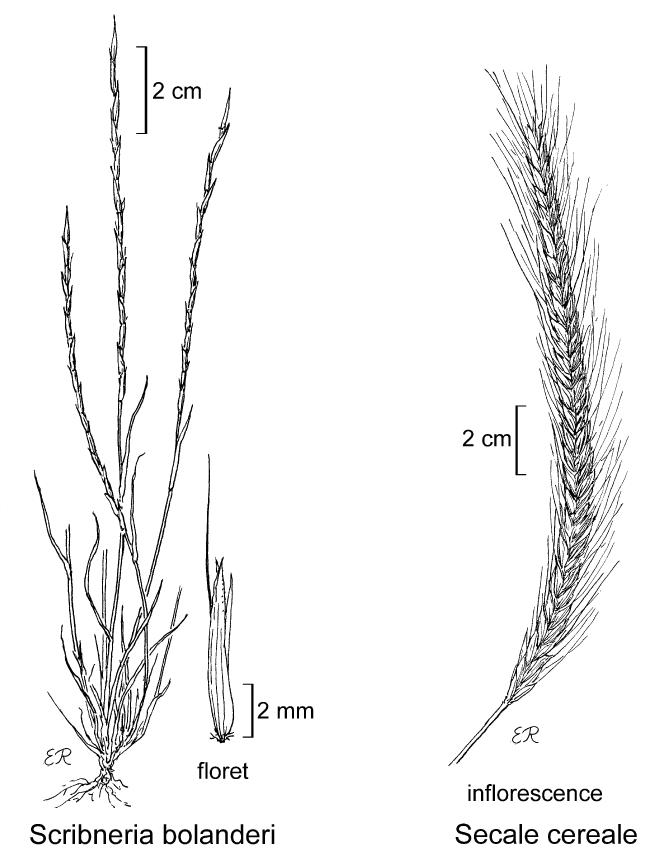 botanical illustration including Scribneria bolanderi