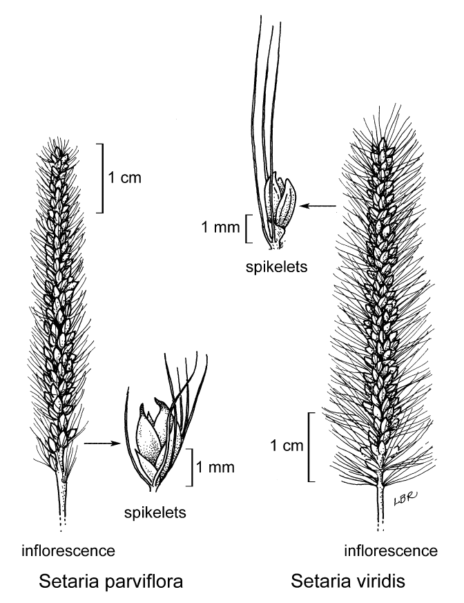 botanical illustration including Setaria parviflora