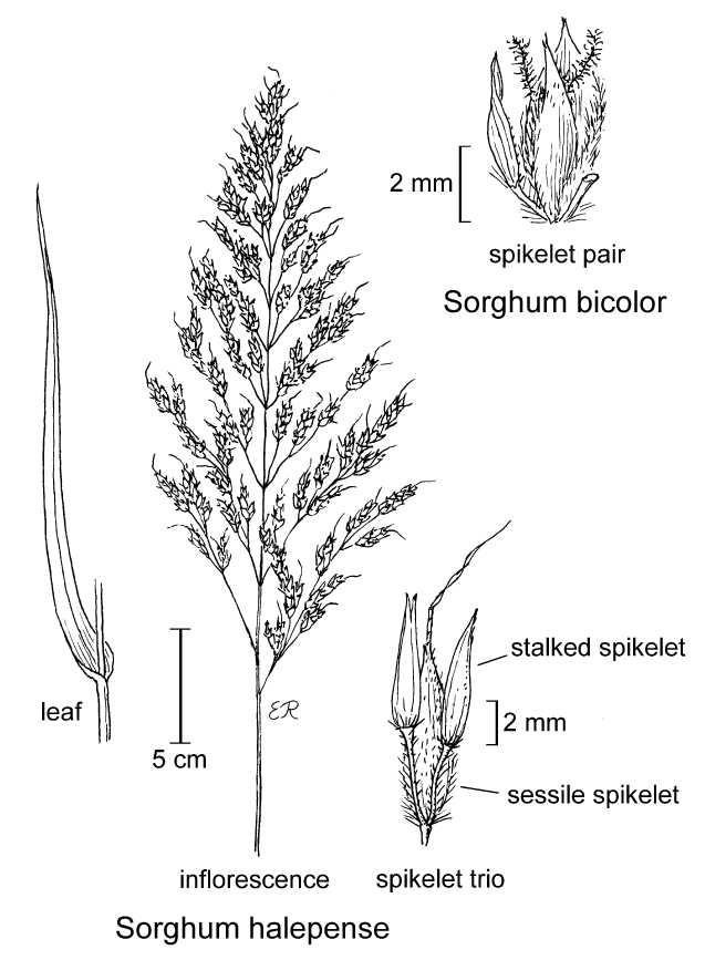 botanical illustration including Sorghum halepense