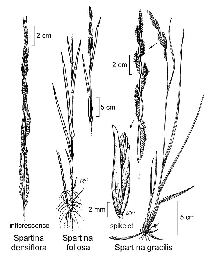 botanical illustration including Spartina densiflora