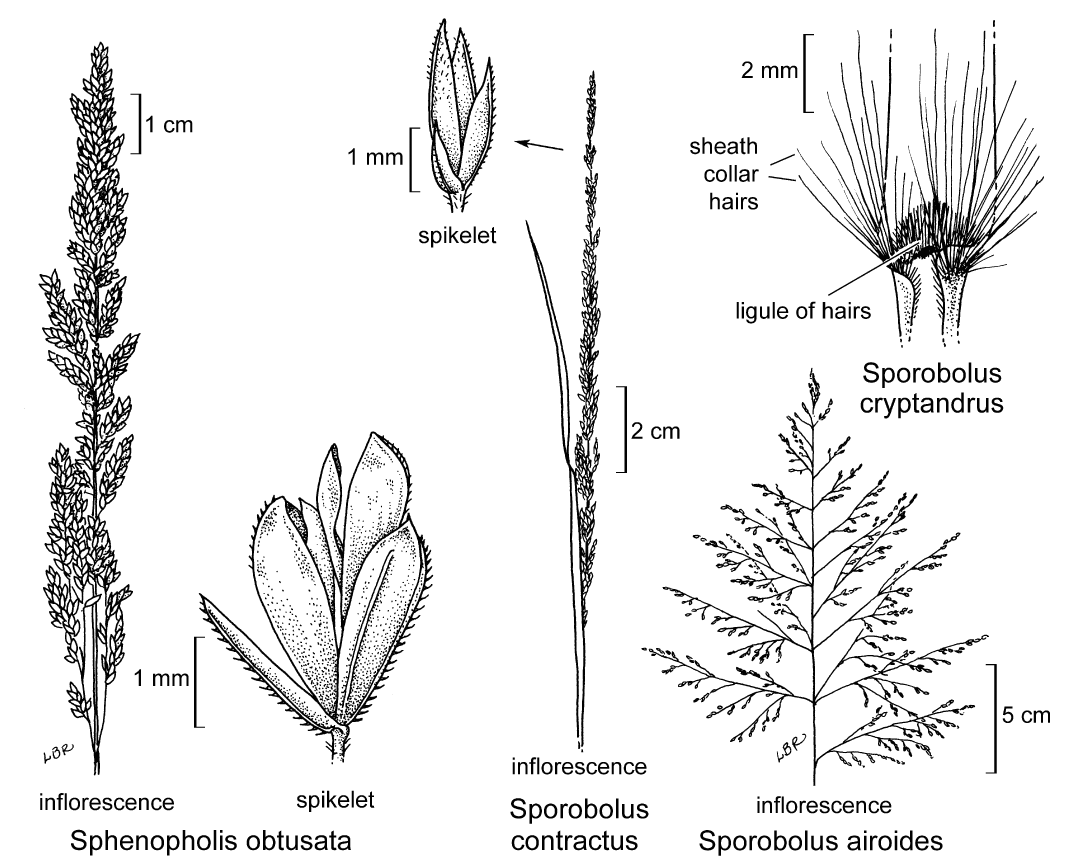 botanical illustration including Sporobolus cryptandrus
