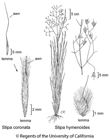 botanical illustration including Stipa coronata